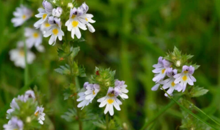 What is eyebright and what is it used for